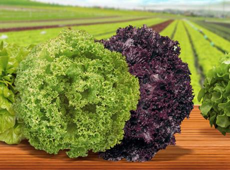 linha-de-alfaces-oferece-diversidade-em-cores,-formatos,-texturas-e-sabores-02-05-2014-09-52-21-4043